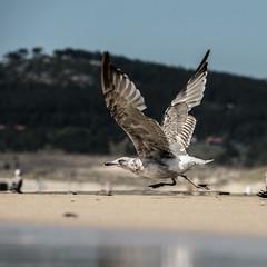 Fly With Me (migajiro) Tags: seagull sony gaviota ltytr1 flickrbronze nex7 sel18200
