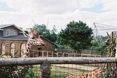 (hannah) Tags: giraffe olympusom1 londonzoo kodak400