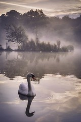 Swan in the Mist (Vemsteroo) Tags: morning autumn trees mist lake reflection bird fall nature water beautif