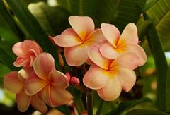 Kailua Plumeria 2, Hawaii (Eric Tessmer, Honolulu Hawaii) Tags: flower hawaii oahu hibiscus bloom windward kailua