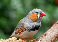 "Zebra Finch - Taeniopygia guttata • <a style=""font-size:0.8em;"" href=""http://www.flickr.com/photos/30765416@N06/11392882605/"" target=""_blank"">View on Flickr</a>"
