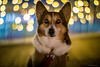 Mannerism (moaan) Tags: portrait dog 50mm corgi dof bokeh decoration illuminations utata fujifilm welshcorgi greeting f095 2014 xa1 canonf095 pochiko canon50mmf095 mmountadapter fujifilmxa1