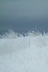 herbes (mimu_13) Tags: winter canada hiver newbrunswick nouveaubrunswick neige 1000 nx nx1000 samsungnx1000