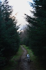 (ScreamingSoul) Tags: wood trees winter sky dog greyhound white black tree forest walking scotland countryside woods mud path branches scottish evergreen fir borders galashiels galahill