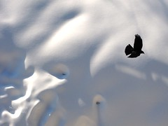 IMG_8304 (doc-harvey) Tags: winter snow alps bird canon switzerland swiss 2014 bettmeralp g10 hwschlaefer docharvey