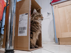 Bess on duty (Edward Moore as edshots) Tags: uk home kitchen cat 1 brighton flat box guard maine olympus palace cardboard card coon mainecoon stylus 28 compact bess superzoom palaceguard queenbess stylus1