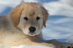 puppy love and fight in snow (JRG Imaginarium ) Tags: snow cute love goldenretriever fight puppies play awesome adorable cavalierkingcharlesspaniel