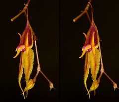 Lepanthes sp. nov.? (Ecuador Megadiverso) Tags: flowers naturaleza orchid flower macro southamerica nature fleur fleurs stereogram ecuador flora orchids wildlife natur flor blumen orchidaceae equateur orchidee blume makro orqudeas equador biodiversity orchide orqudea orchideen orchidea newspecies sdamerika neotropical id26 neotropics taxonomy:family=orchidaceae lepanthessp vision:text=0504 vision:dark