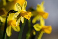 218/365 - Lovely (michael.cessna) Tags: flowers window yellow closeup spring nikon bokeh 365 lovely daffodils narcissus 218 project365