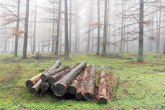 (Mimadeo) Tags: wood morning mist tree industry nature wet fog pine forest wooden log haze energy natural cut timber logging stack bark pile trunk heap firewood stacked resource lumber woodpile deforestation