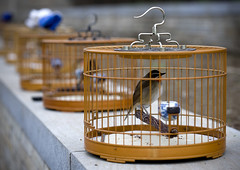 OISEAUX EN CAGE A BEIJING, CHINE (Eric Lafforgue Photography) Tags: voyage china travel pets bird birdcage animal horizontal wall closeup outdoors photography trapped asia day branch outdoor beijing culture nopeople hanging asie tradition chine captivity cages chineseculture perching oneanimal capitalcities colorimage exterieur animalthemes