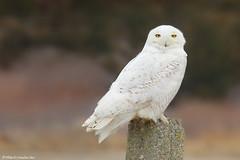 Snowy Owl (Mike Schanbacher) Tags: usa bird birds ma capecod birding raptor owl raptors owls birdsofprey birdofprey mashpee talons snowyowl southcapebeach buboscandiacus