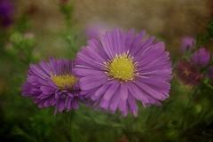 Aster (mamietherese1) Tags: textures contemporaryartsociety fantasticnature memoriesbook floralessence untouchabledream itsallaboutflowers netartii