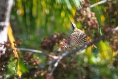 Sulphur-bellied Flycatcher in Flight (Xuberant Noodle) Tags: bird birds fly flying wings belize flight wing