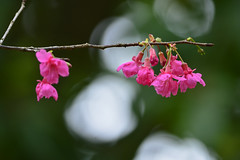 "山櫻花 Prunus campanulata in Taiwan (photor432) Tags: flower taiwan 桜 cherryblossom sakura prunus 櫻花 csh kirschblüte ساكورا 벚꽃 campanulata körsbärsblom kersenbloesem flordecerejeira 山櫻花 prunuscampanulata 緋寒櫻 сакура fioridiciliegio 山櫻 ซากุระ flordecerezo fleurdecerisier hoaanhđào bungasakura 사쿠라 เชอร์รี่ زهرةالكرز вишнявцвету cshblack432 cherrybunga ""さくら"""