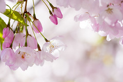"""""""This beauty that will pass"""" (Sinad McKeown) Tags: pink flowers spring blossoms cherryblossoms buds palepink floweringtree"""