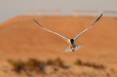 Elegant Tern (linda m bell) Tags: california birds socal wetlands birdwatching bolsachica 2014 eleganttern ecologicalreserve