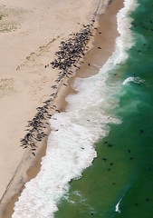 Monomoy Seals Aerial 5/29/14 (Chris Seufert) Tags: island harbor wildlife aerial chatham seal seals cape cod refuge monomoy