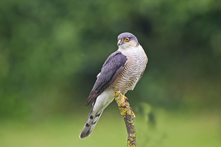 Sparrowhawk (Accipter nisus) Male