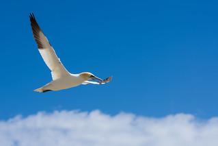 Gannet in flight DSC_1833