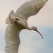 White Ibis In Flight.jpg