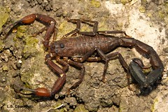 Tityus elizabethae Loureno & Ramos, 2004. (aracnologo) Tags: arachnid scorpion arachnida roraima buthidae alacrn escorpio tityus scorpiones buthid elizabethae