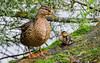 Duck and Duckling (Will Gell) Tags: west scotland duck nikon duckling will loch 70300mm tamron linlithgow lothian gell d7000
