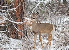 A Winter's Deer (jimgspokane) Tags: deer wildlife trees washingtonstate naturewatcher otw