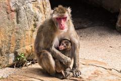 Being a Mum is hard work! D50_7632.jpg (Mobile Lynn) Tags: captive japanesemacaque primate nature fauna macacafuscata wildlife launceston tasmania australia au