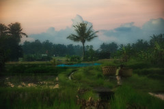 dawn in rice field (Kelly Renée) Tags: bali seasia tabanan agriculture dawn ricefield travel indonesia soft dreamy morning