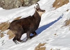 Camosci7 (Lunghefocali.snc) Tags: camoscio rupicaprarupicapra dolomiti valdifiemme trentino altamontagna biancoenero wildlife nature