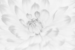 Immortal (Anna Kwa) Tags: dahlia flower macro art nature gardensbythebay flowerdome annakwa nikon d750 my afsvrmicronikko105mmf28gifed immortal always pure love memories seeing heart soul throughmylens allofme monochrome myimmortal evanescence blackandwhite bw throughherlens