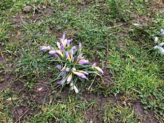 Day 72: Slightly sad clump of crocuses