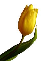 tulipe jaune (JMVerco) Tags: fleur flower fiore tulipe flickrchallengegroup