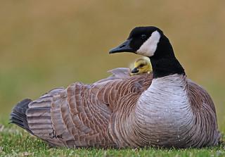 THINK SPRING - Canada Goose & Gosling - 5444b+
