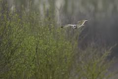 Another Short -eared owl in flight (skees499 ) Tags: velduil keesmolenaar nikon d500 nature birding bif shortearedowl asioflammeus