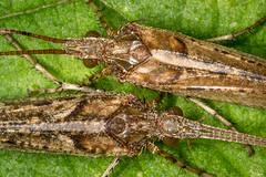 IMG_5169 (Steve Ln) Tags: glyphotaeliuspellucidus brandonmarsh caddisfly malefemale mottledsedge