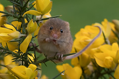 Harvest Mouse (Tim Melling) Tags: micromys minutus harvest mouse timmelling