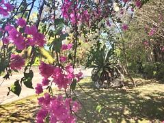 The Bight (Simone Scott) Tags: agave flowers caymanislands caymanbrac thebight