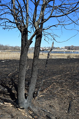 red oak charred by grass fire (ophis) Tags: fire neponsetestuary dorchester fagales fagaceae quercus quercusrubra redoak
