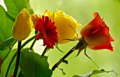Floral Banner (Shutterbuglette) Tags: nikon nikkor nikkor70300mm handheld bouquet roses gerbera tulip green orange yellow light leaves flowersinavase croppedtodetail explore inexplore d40x 10000view 11000views etherealgreen