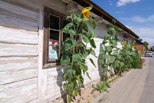 Słoneczniki przed zagrodą Czernikiewiczów w Bodzentynie