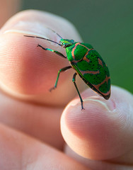 Jewel Bug On My Fingers (aeschylus18917) Tags: danielruyle aeschylus18917 danruyle druyle ダニエルルール japan 日本 insect 28300mm bug hemiptera insecta pentatomoidea jewelbug scutelleridae poecilocorislewisi アカスジキンカメムシ