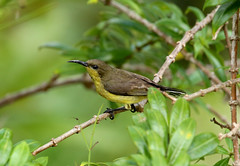 Female Olive-backed Sunbird-----Cinnyris jugularis (creaturesnapper) Tags: thailand hatyai birds sunbirds olivebackedsunbird cinnyrisjugularis flickrbirds
