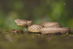 【茶斑蛇】 Psammodynastes pulverulentus (Boie, 1827) (Sam's Photography Life) Tags: 茶斑蛇 蛇 psammodynastes pulverulentus 生態 自然 有尾目 兩爬 爬蟲類 爬蟲綱 snake canon 1dx 100mm marco mraco 百微