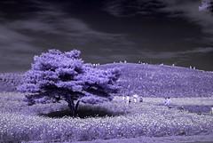 Infrared Hitachi Seaside Park Purple Scene (aeschylus18917) Tags: danielruyle aeschylus18917 danruyle druyle ダニエルルール japan 日本 infrared ir surreal 赤外線 ibaraki 茨城県 hitachi 日立市 hitachiseasidepark 国営ひたち海浜公園 autumn fall 秋 2485mm pxt