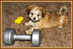 National Puppy Day (marilyntunaitis) Tags: nationalpuppyday bella puppy