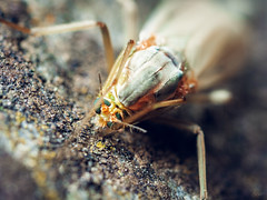 Compound eyes (sdejongh) Tags: 31 65mm closeup colors compound eyes f80 flash insect legs macrophotography mpe