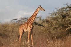 Pure Gold (The Spirit of the World) Tags: goldenhour lakenaivasha giraffe acaciatrees afternoon safari gamedrive kenya eastafrica africa africananimals wildlife nature portrait
