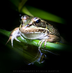 Hanging around (Photography by Julia Martin) Tags: nature frog blackspottedpondfrog specanimal impressedbeauty canon300mmf28is canon5dmarkiii juliamartinphotography